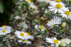 The bee collects the nectar from the chamomile. The bee collects the nectar from the сhamomile royalty free stock photo