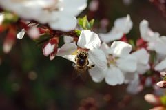 Bee collects nectar from a cherry blossom, close-up Stock Photos