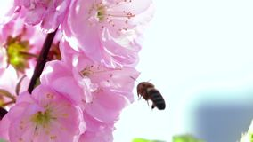 Bee collects nectar. Close up. Slow motion. Bee collects nectar, bees pollinating flowering apricot blossoms, beekeeping in the garden, bees collects nectar on a