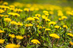 bee collects nectar on a dandelion, yellow dandelion, flower, green grass Stock Images