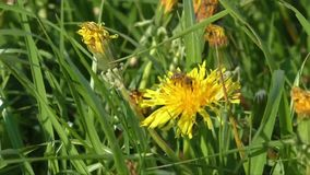 Bee collects nectar on a dandelion, yellow dandelion, flower, green grass, yellow pollen stock video