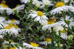 The bee collects the nectar from the field chamomile. Chamomiles flowers bloom in the flowerbed. Camomiles and bee closeup stock images