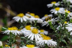 The bee collects the nectar from the field chamomile. Chamomiles flowers bloom in the flowerbed. Camomiles and bee closeup stock image