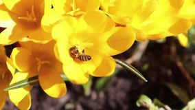 Bee collects nectar and flies stock footage