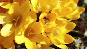 Bee collects nectar and flies stock video