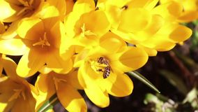 Bee collects nectar and flies stock video footage