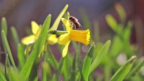 Bee collects nectar and flies. Yellow blooming daffodil in light breeze. stock footage