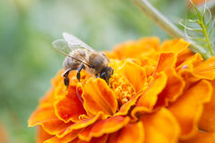 A bee collects nectar royalty free stock photo