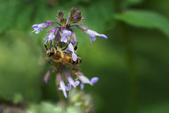 Bee collects nectar on a flower blooming  salvia Royalty Free Stock Photography