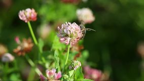 A bee collects nectar on a flower clover stock video footage