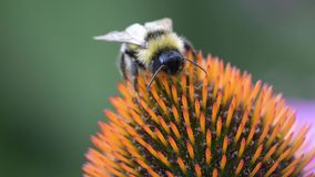 A bee collects nectar on a flower of echinacea stock video