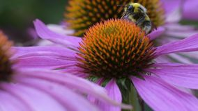 A bee collects nectar on a flower of echinacea stock footage