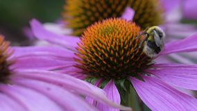 A bee collects nectar on a flower of echinacea stock video footage