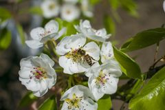 A bee collects nectar on a flowering tree.  stock photo