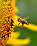 Bee. A bee collects nectar from flowers Royalty Free Stock Image