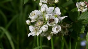 Bee collects nectar on the flowers of blackberry stock video footage