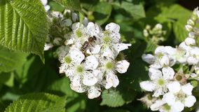 Bee collects nectar on the flowers of blackberry stock video