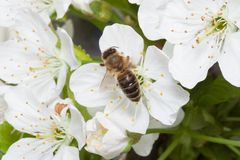 Bee collects nectar on the flowers of cherry. Stock Photo