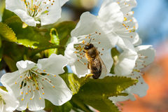 Bee collects nectar on the flowers of cherry. Stock Image