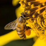 A bee collects nectar from flowers, Close Up Macro Stock Image