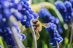 A bee collects nectar from flowers. Close Up Macro Royalty Free Stock Photography