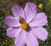 Bee collects nectar from flowers cosmos. Royalty Free Stock Photography
