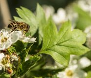 Bee collects the nectar from the flowers of the hawthorn. Spring flowering royalty free stock images