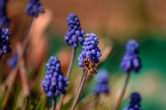 A bee collects nectar from flowers of Muscari. A bee collects nectar from blue flowers of Muscari Royalty Free Stock Image