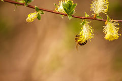 The bee collects the nectar from the flowers of a willow. A bee gathers nectar from yellow flowers of a willow Royalty Free Stock Photo