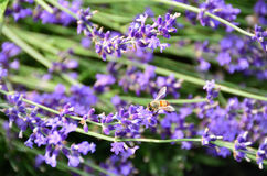 Free Bee Collects Nectar From Lavender Flowers Royalty Free Stock Photos - 98621198