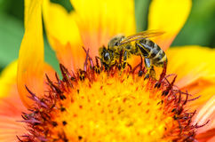 Bee collects nectar. A bee collects nectar on a large and bright flower Stock Photo