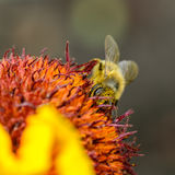 Bee collects nectar. A bee collects nectar on a large and bright flower Royalty Free Stock Image