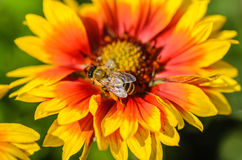 Bee collects nectar. A bee collects nectar on a large and bright flower Royalty Free Stock Photo