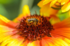 Bee collects nectar. A bee collects nectar on a large and bright flower Royalty Free Stock Images