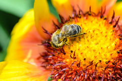 Bee collects nectar. A bee collects nectar on a large and bright flower Royalty Free Stock Photography