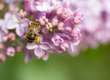 Bee. Collects nectar on lilac stock photo