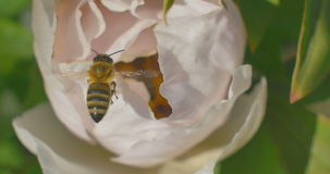 Bee collects nectar on Paeonia suffruticosa flower. Close up. stock video footage