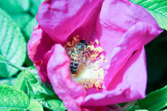 The bee collects the nectar royalty free stock photos