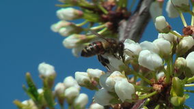 Bee collects nectar on plum stock video