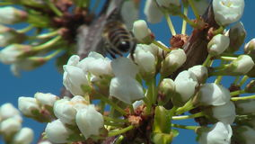 Bee collects nectar on plum stock video footage