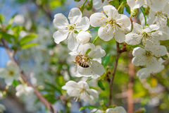 Bee collects nectar and pollen on a blossoming cherry tree branch. Close up view of bee collects nectar and pollen on a white blossoming cherry tree branch stock photos