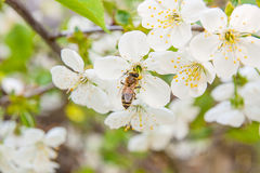 Bee collects nectar and pollen on a blossoming cherry tree branch. Close up view of bee collects nectar and pollen on a white blossoming cherry tree branch royalty free stock photography