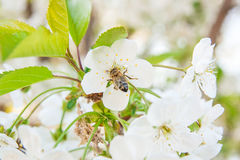 Bee collects nectar and pollen on a blossoming cherry tree branch. Close up view of bee collects nectar and pollen on a white blossoming cherry tree branch royalty free stock image