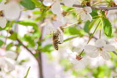 Bee collects nectar and pollen on a blossoming cherry tree branch. Close up view of bee collects nectar and pollen on a white blossoming cherry tree branch stock image