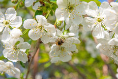 Bee collects nectar and pollen on a blossoming cherry tree branch. Close up view of bee collects nectar and pollen on a white blossoming cherry tree branch royalty free stock images