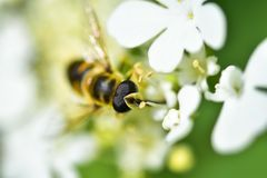 The bee collects nectar and pollinates the plant. In a flowering garden royalty free stock photos