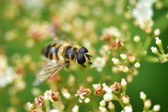 The bee collects nectar and pollinates the plant. In a flowering garden royalty free stock images