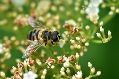 The bee collects nectar and pollinates the plant. In a flowering garden royalty free stock image