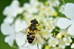 The bee collects nectar and pollinates the plant. In a flowering garden royalty free stock photo