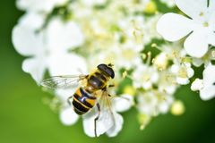 The bee collects nectar and pollinates the plant. In a flowering garden stock images